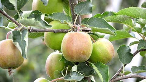 Fruitbomen en kleinfruit aanplanten