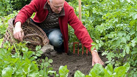 Zelf aardappelen kweken