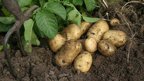 Aardappelen : aanaarden en bemesten