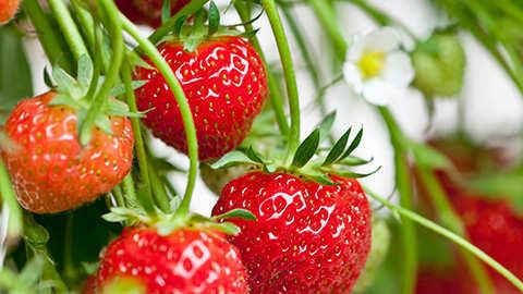 Aardbeien : voeding en verzorging