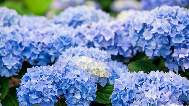 Het geheim van blauwe hortensia's